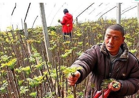 山东一对农民夫妇种植反季香椿一年收入几十万