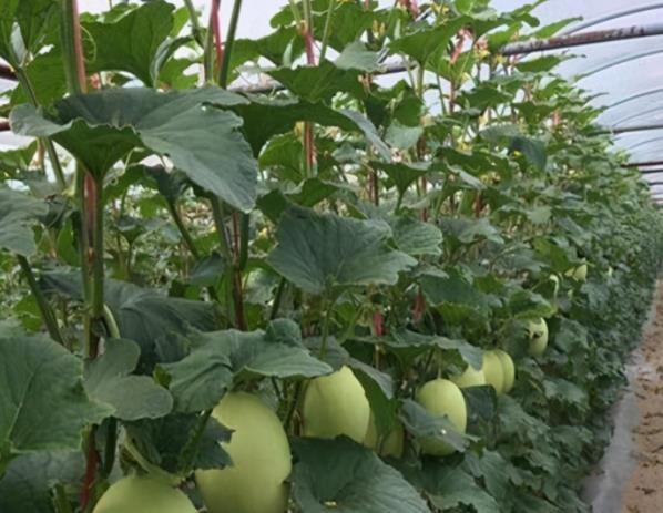 浙江小伙用科学方法种植大棚哈密瓜,年入三十多万