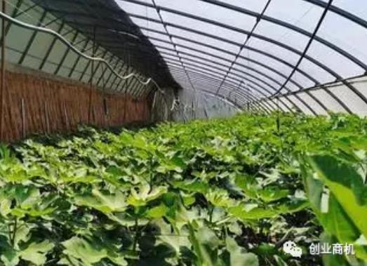 农村有哪些能致富的种植项目?