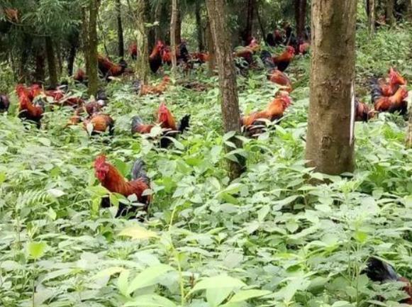 林下放养鸡图片