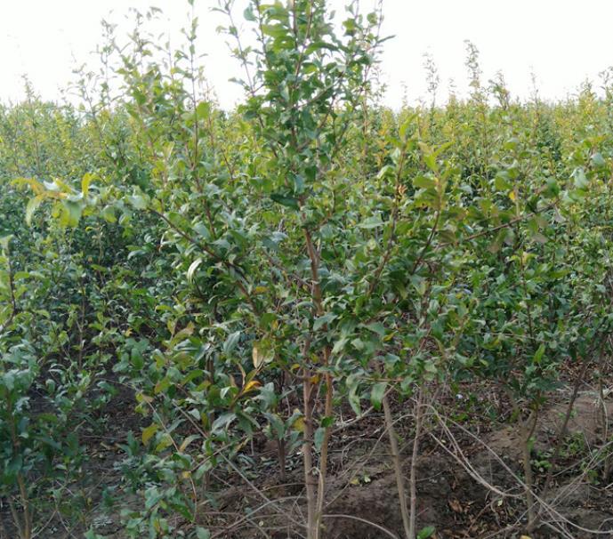 河南小伙种植软籽石榴年收入几十万