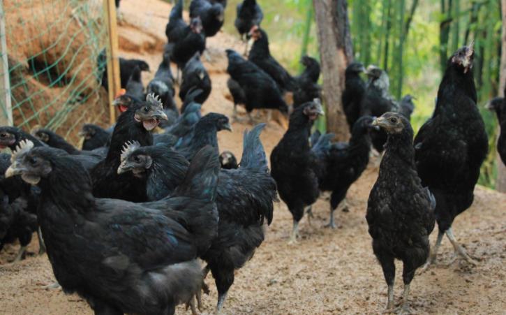 80后小伙大山里养殖乌骨鸡年收入30多万