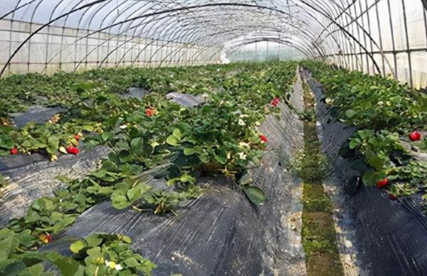 云南小伙引进国外草莓品种一年创收几十万