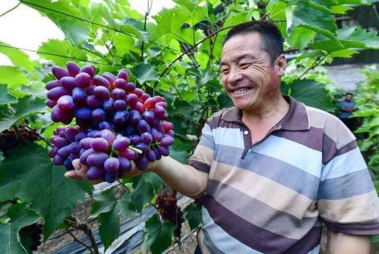 70后大叔农村创业种植成功茉莉香葡萄年收入30多万