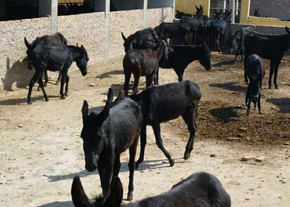退伍军人回村养驴用自己的方式仅20头驴就卖了30多万