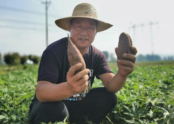 """江苏一农民种植成功""""徐紫薯8号""""亩产值4000斤"""
