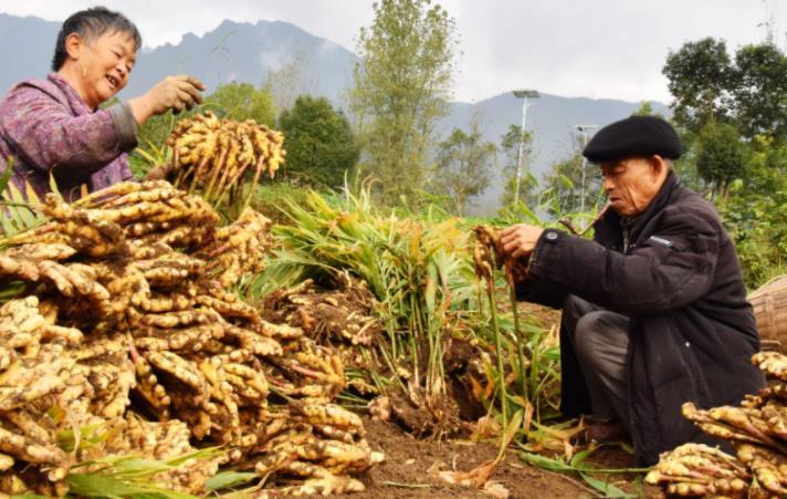 平度一农民用有机肥加草木灰的方法种植生姜,产量每亩两万多斤