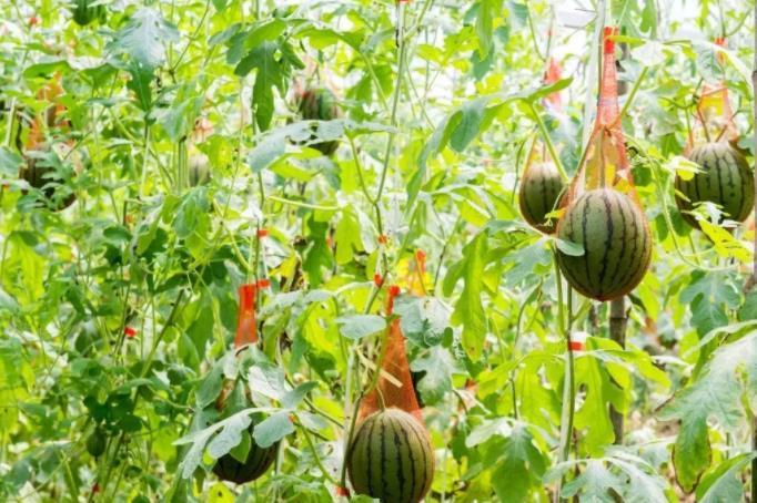 福建小伙回村创业种植长在树上的西瓜。全洪刚:我一天能卖两万块