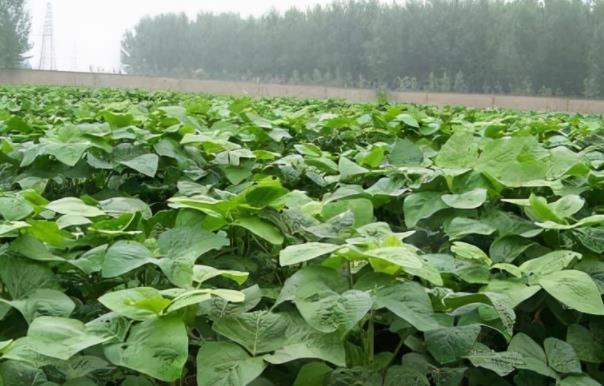 河南小伙一边种豆一边养殖豆青虫年入几十万