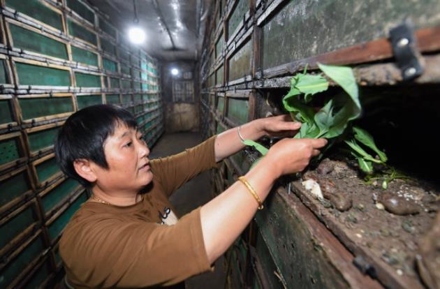 小蜗牛带来大财富,浙江一农妇养殖蜗牛一年收入三十多万